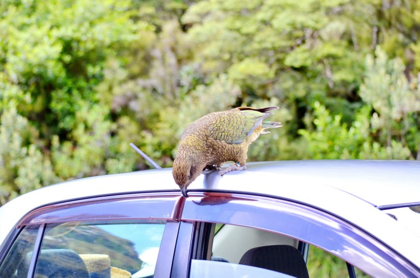 a kea parrot on a car, fiordland national park, south island, new zealand