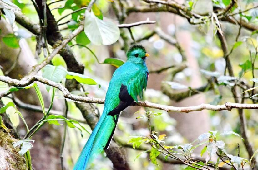 a resplendent quetzal, male, monteverde cloud forest preserve, costa rica