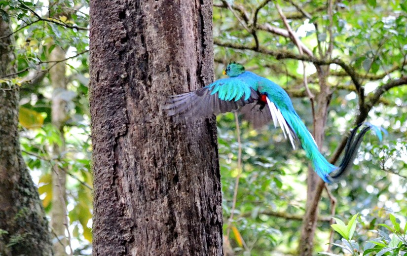 a male resplendent quetzal at a nest hole, monteverde cloud forest preserve, costa rica