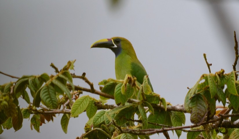 a northern emerald toucanet, monteverde cloud forest preserve, costa rica