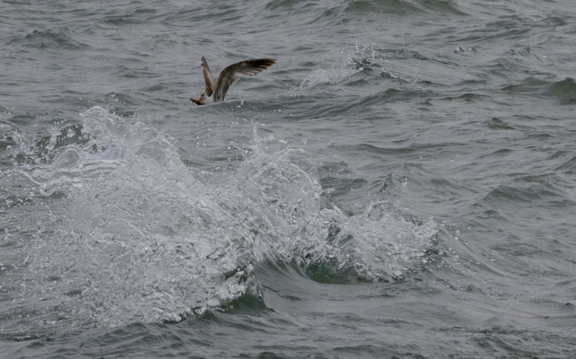 hering gull with a catch, lake erie, ontario