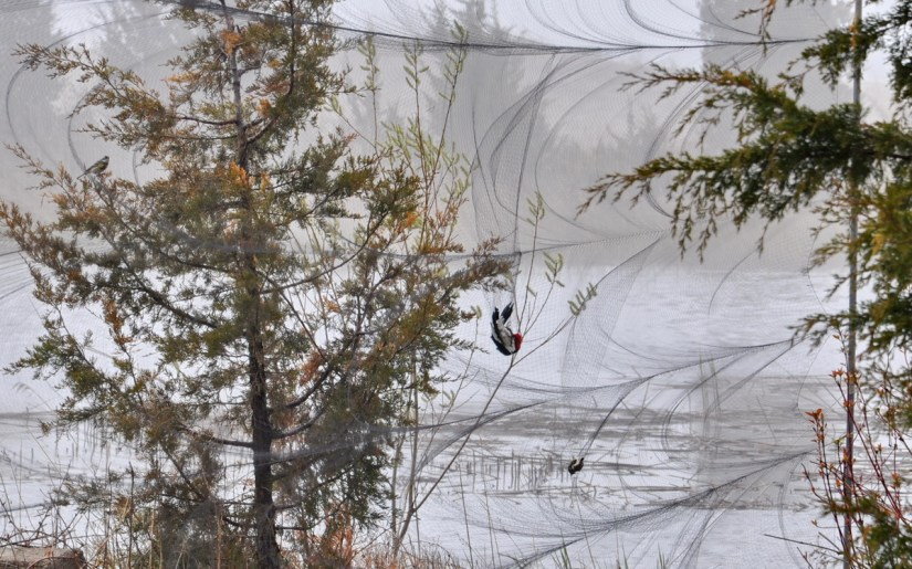 a red-headed woodpecker in a mist net, long point bird observatory, the tip of long point, lake erie, ontario