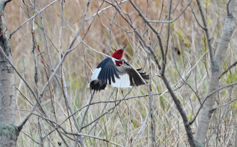 a red-headed woodpecker at the tip, long point, lake erie, ontario
