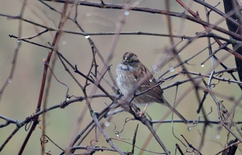 a white-throated sparrow, the tip of long point, lake erie, ontario