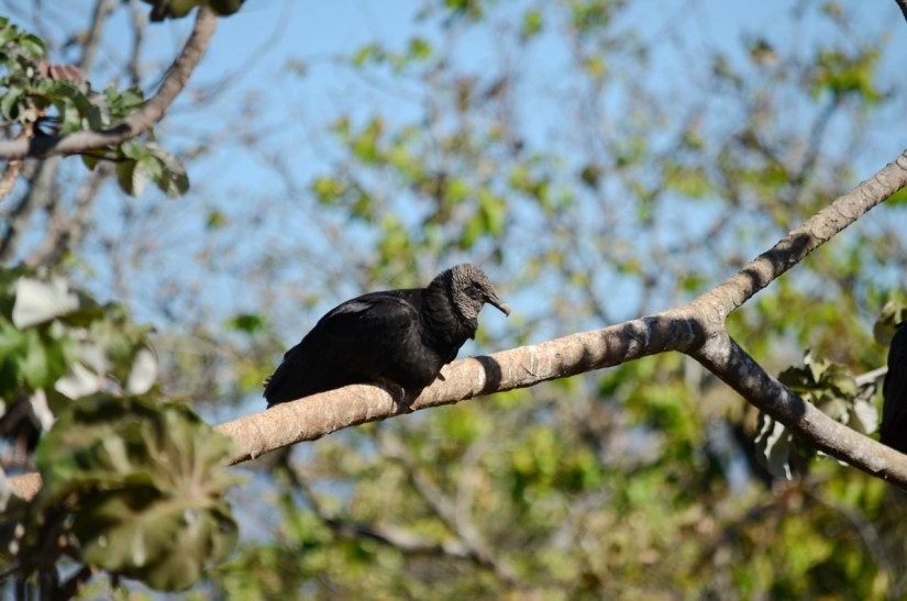 black vulture perched in a tree, costa rica