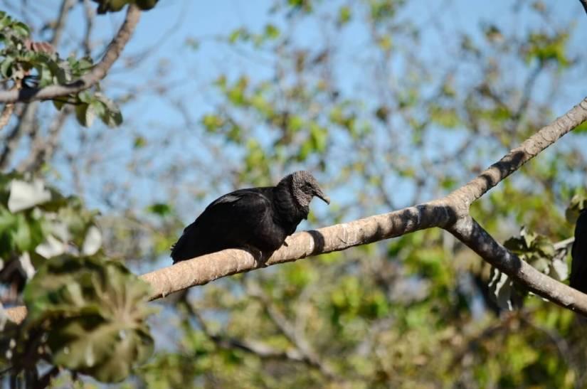 black vulture perched in a tree, costa rica