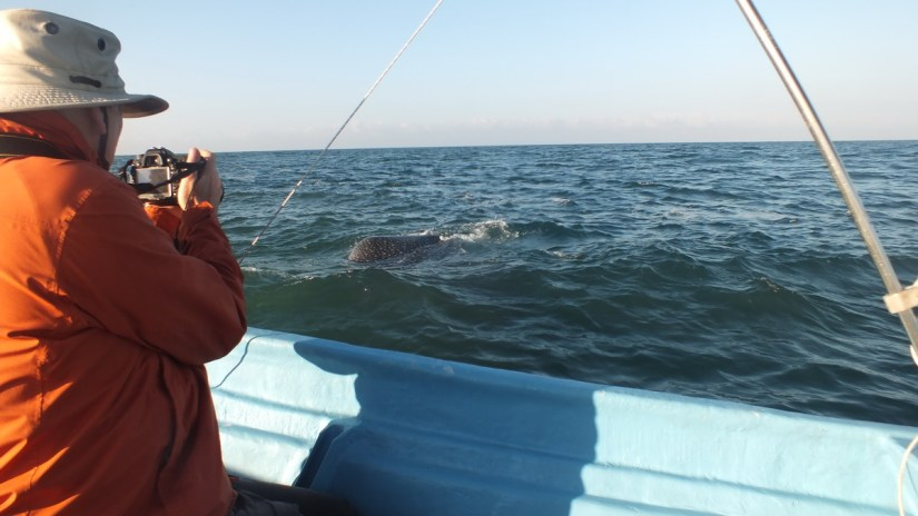 bob photographs a whale shark, pacific ocean, san blas, mexico