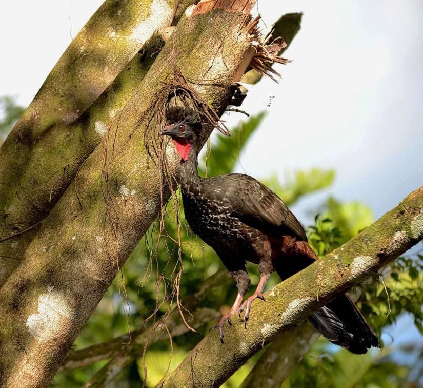 a crested guan in a tree, kokoro lodge, la fortuna, costa rica