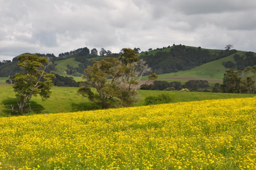 a field of rapeseed, canola, near auckland, new zealand