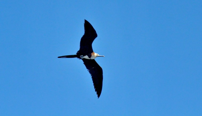 a female magnificent frigatebird soaring above isla isabel, mexico