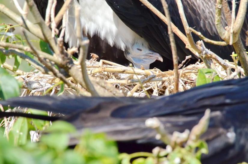 a magnificent frigatebird chick, isla isabel, mexico