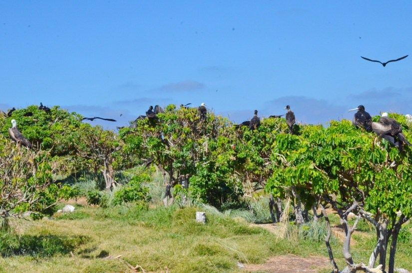 a colony of magnificent frigatebirds, isla isabel, mexico