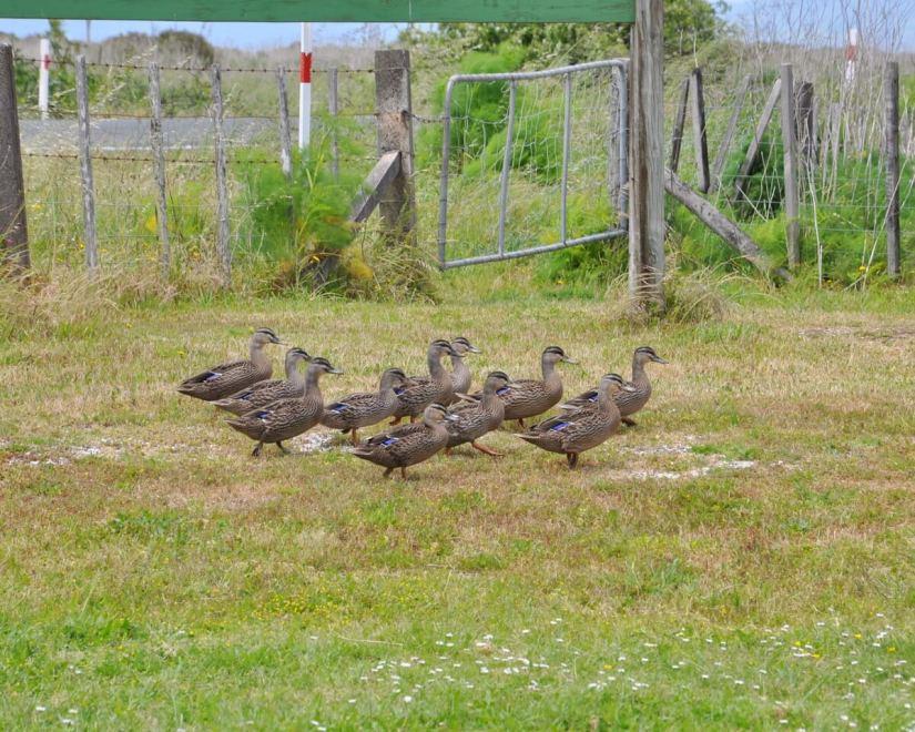 a brace of black duck-mallard hybrids, Pukorokoro Miranda Shorebird Centre, north island, new zealand