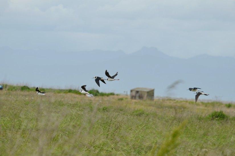pied stilts in flight over the saltmarsh, Pukorokoro Miranda Shorebird Centre, north island, new zealand