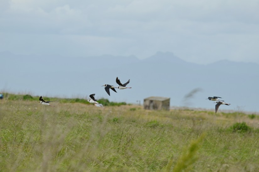 pied stilts in flight over the saltmarsh, Pukorokoro Miranda Shorebird Centre, north island, new zealand