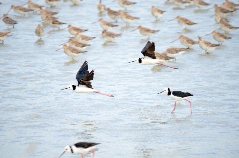 pied stilts and bar-tailed godwits, Pukorokoro Miranda Shorebird Centre, north island, new zealand