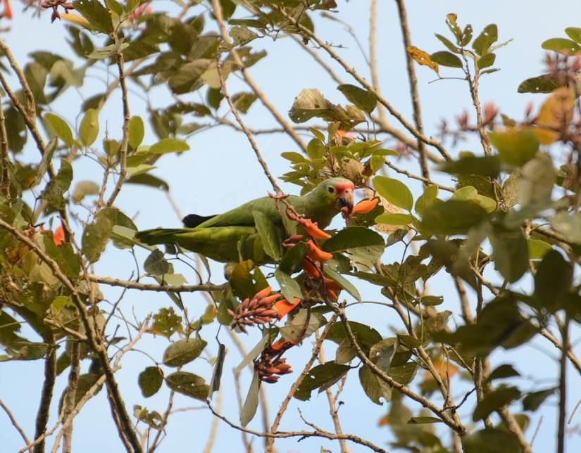 a red-lored parrot, kokoro lodge, la fortuna, costa rica