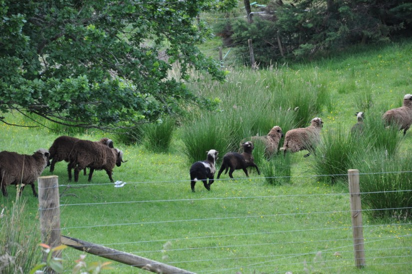 a flock of sheep near auckland, new zealand