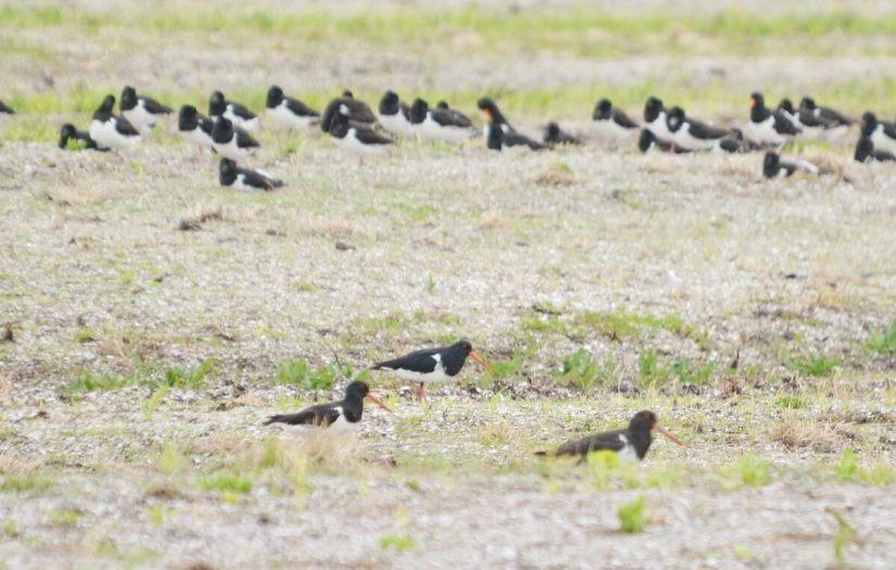 south island pied oystercatchers, Pukorokoro Miranda Shorebird Centre, north island, new zealand