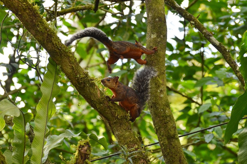 variegated squirrels, kokoro lodge, la fortuna, costa rica