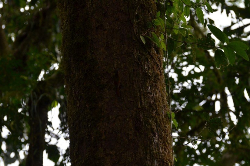 a wedge-billed woodcreeper in deep shadow, mistico arenal hanging bridges park, la fortuna, costa rica
