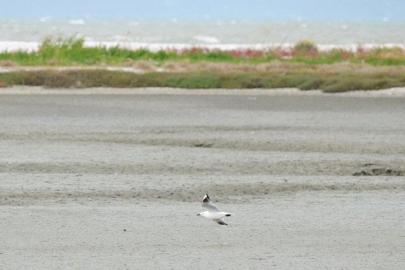 a black-billed gull, Pukorokoro Miranda Shorebird Centre, north island, new zealand
