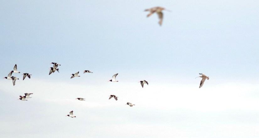 a far easterm curlew and south island pied oystercatchers, Pukorokoro Miranda Shorebird Centre, north island, new zealand