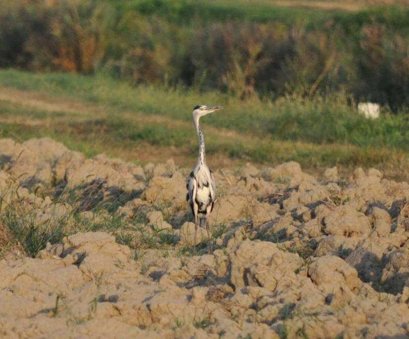 a grey heron, rovigo, po river delta, italy