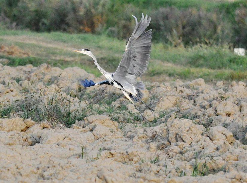 a grey heron, po river delta, italy