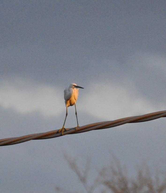 a little egret, Parco Regionale Veneto del Delta del Po (The Regional Park of the Po River Delta), italy