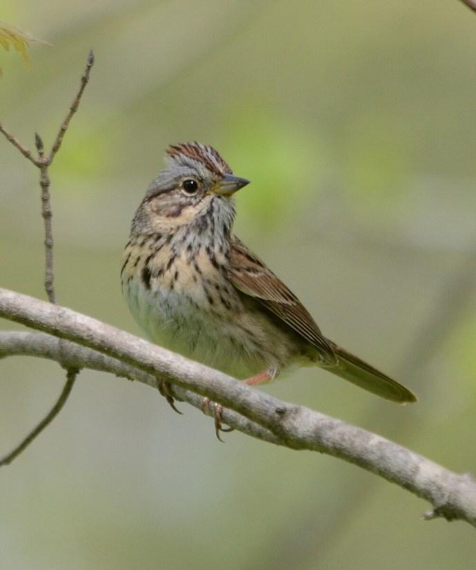 a lincoln's sparrow, jackson-gunn old growth forest, long point, ontario