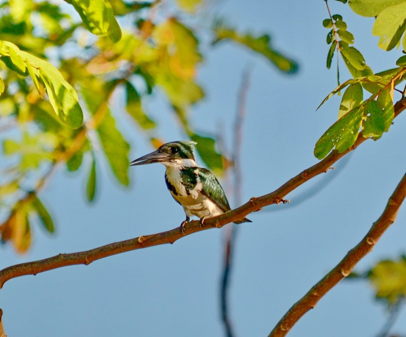 a female amazon kingfisher, cano negro wildlife refuge, costa rica