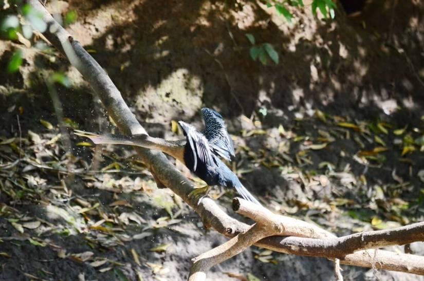 a wet anhinga, cano negro wildlife refuge, costa rica