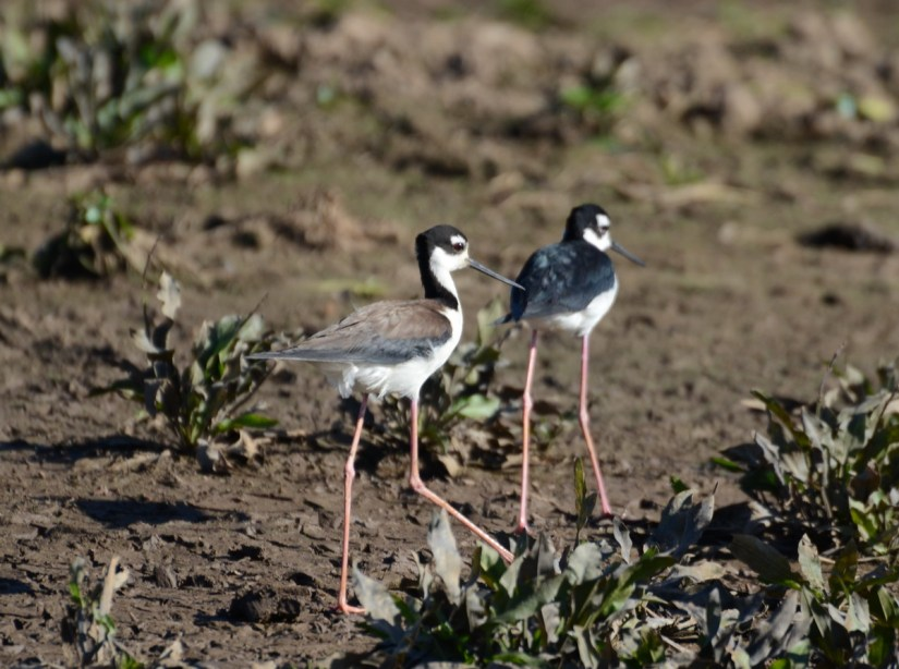 black-necked stilts, cano negro wildlife refuge, costa rica