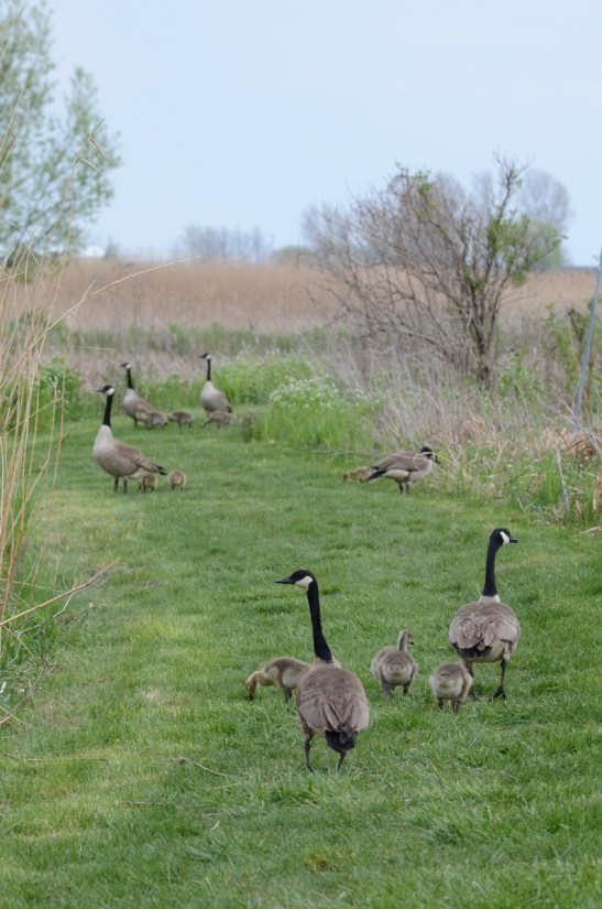 canada geese, big creek national wildlife area, long point, ontario