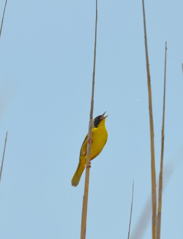a common yellowthroat warbler, big creek national wildlife area, long point, ontario