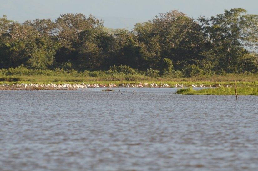 flocks of birds at cano negro lake, cano negro wildlife refuge, costa rica