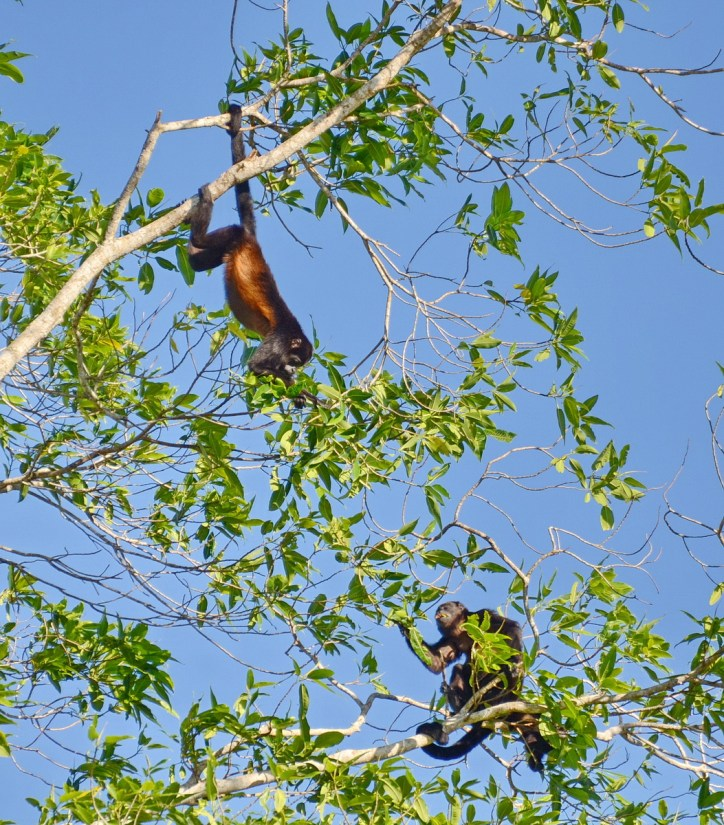 a family of howler monkeys in a tree, cano negro wildlife refuge, costa rica
