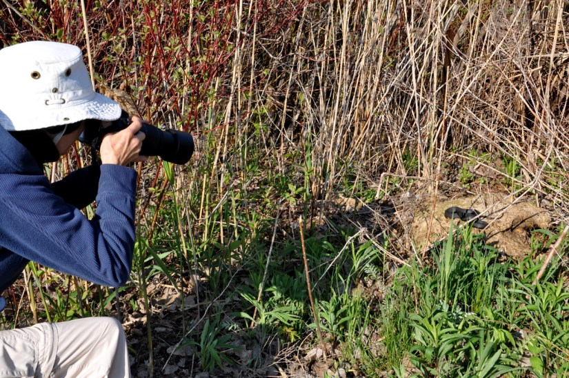 jean photographing an eastern gartersnake, crown marsh, long point, ontario