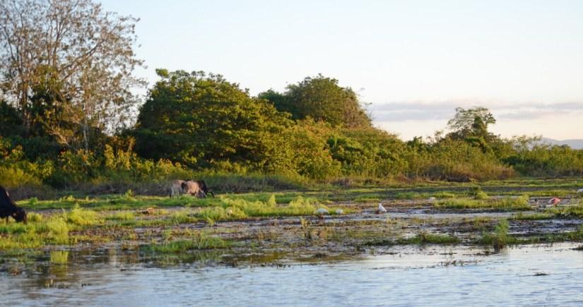 birds and animals on the mudflats, cano negro lake, cano negro wildlife refuge, costa rica