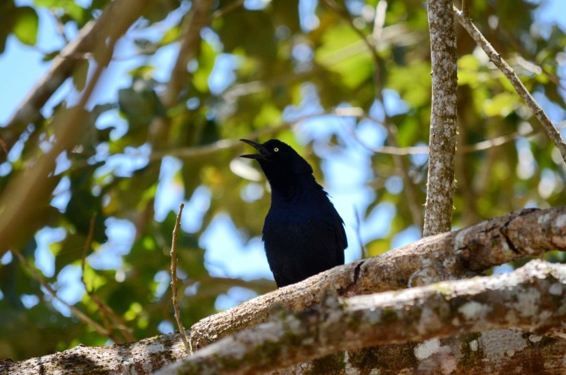 a nicraguan grackle, cano negro wildlife refuge, costa rica