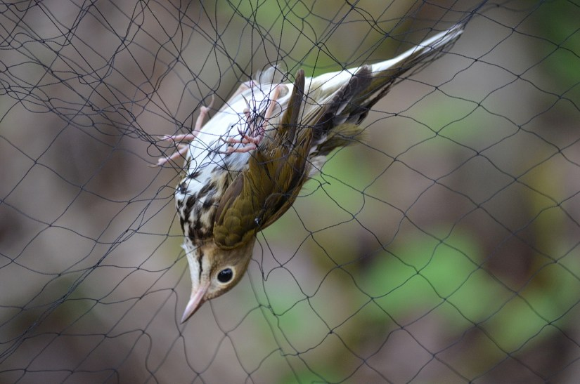 an ovenbird in a mist net, the old cut, long point, ontario