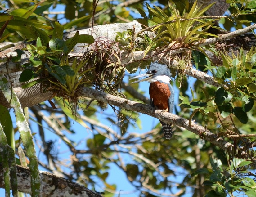 a ringed kingfisher, cano negro wildlife refuge, costa rica