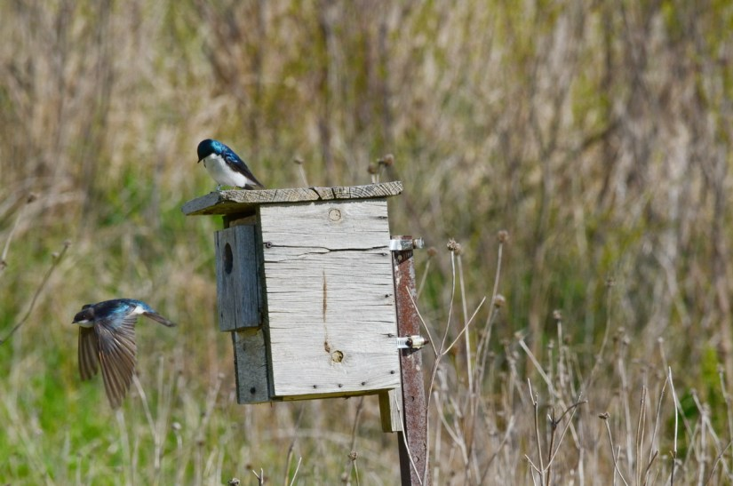 tree swallows at a nestbox, Bird Studies Canada Headquarters, port rowan, ontario
