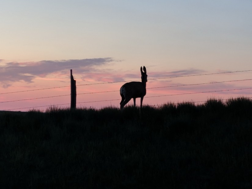 a mule deer in silhouette against a pink sky, saskatchewan