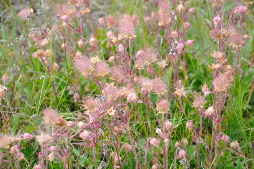 prairie smoke wildflowers, valley of 1000 devils route, grasslands national park east block, saskatchewan