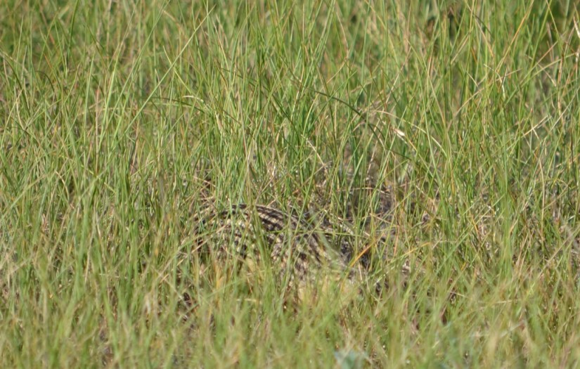 thriteen-lined ground squirrel, valley of 1000 devils route, grasslands national park east block, saskatchewan