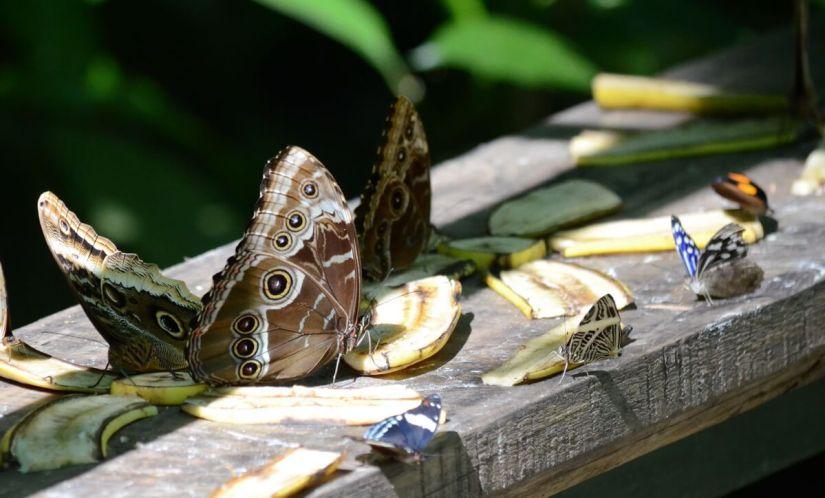 butterflies, ecocentro danaus, la fortuna, costa rica
