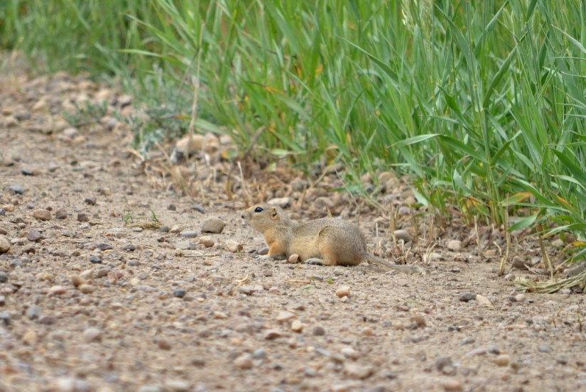 a richardson's ground squirrel, saskatchewan