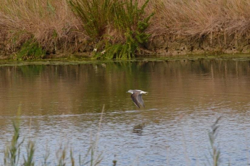 a common greenshank, parco regionale veneto del delta del po, po river delta, italy